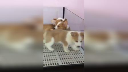 三色柯基犬价格柯基犬图片纯种小短腿柯基犬多少钱一只