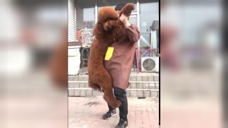 巨贵犬 巨型贵宾犬 大型犬 红色巨贵 贵宾犬 泰迪 大型泰迪 大体泰迪 贵妇人 宠物狗 巨贵图片 巨贵视频