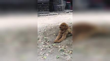800块钱买了一只金毛犬,大家帮忙看一下纯不纯?为啥我感觉它有点像是泰迪呢?