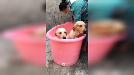 养狗后,哪里还有休息日!你们有没有体会过同时洗两只的奔溃!我太难了……