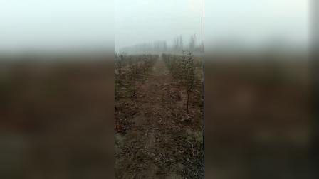 阿杜种植的甘肃礼县国产蛇果苹果,三年后才可以吃到果子哦