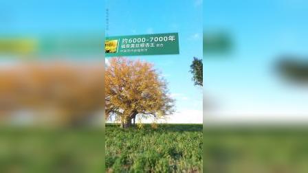 盘点世界上现存最古老的树!中国上榜了几棵?