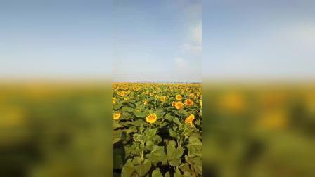 内蒙古巴彦淖尔临河,国家千亿亩粮田建设