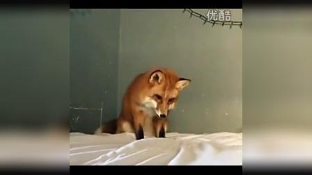 红狐狸错把床单当雪地 又蹦又跳又刨坑