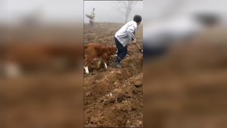 天心無我】小牛求主人让它也帮帮忙