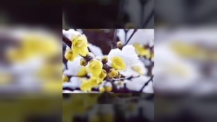 梅花欢笑飞雪迎春,
