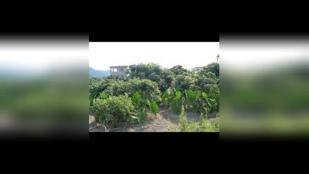 茂名市化州市兰山陂口《水果之乡》深受人们的喜乐