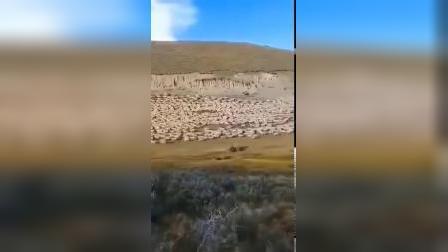 蒙古国总统送的30000只羊