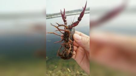 小龙虾繁育虾苗.mp4