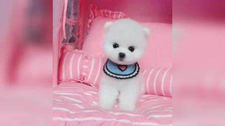 博美幼犬  博美能长到多大  博美视频  博美图片  博美能送人吗  博美好养吗  北京纯种博美