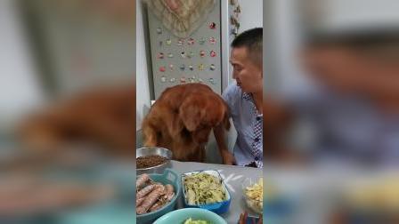 金毛龇牙护食,主人趁机捂住它耳朵拿走鸡胸肉以后,狗狗蒙圈了