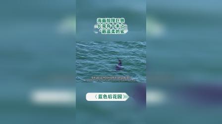 """海面惊现巨兽,体长竟有十米之长,谁料竟是""""最温柔的鲨鱼""""姥鲨"""