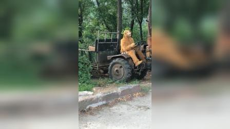 童年趣事:猴哥这是拖拉机不是马啊