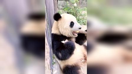 大熊猫吃播,这孩子吃得真香