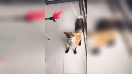 开心到飞起,红狐狸一起玩耍