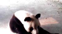 临沂动植物园大熊猫迪迪用餐记