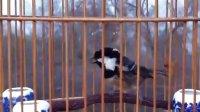 貝子鳥超級貝瘋狂喊鳥